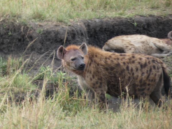 Hyenas at Maasai Mara