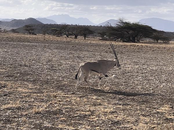 Oryx at Samburu