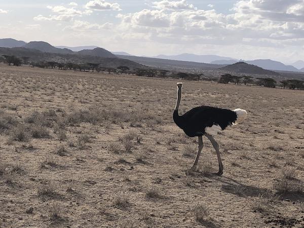 Ostrich at Samburu
