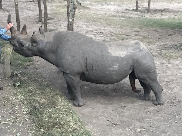 Rhino at Ol Pejeta... and we got to pet it!