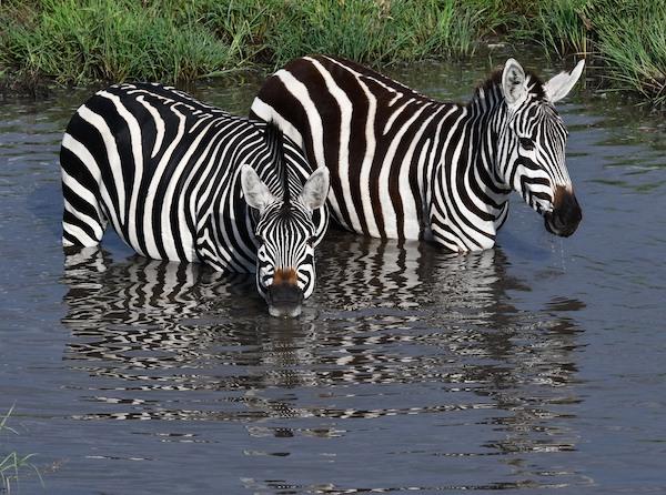 Zebras at Maasai Mara
