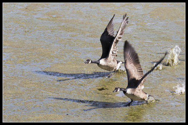 IMG_0269 Canada Geese