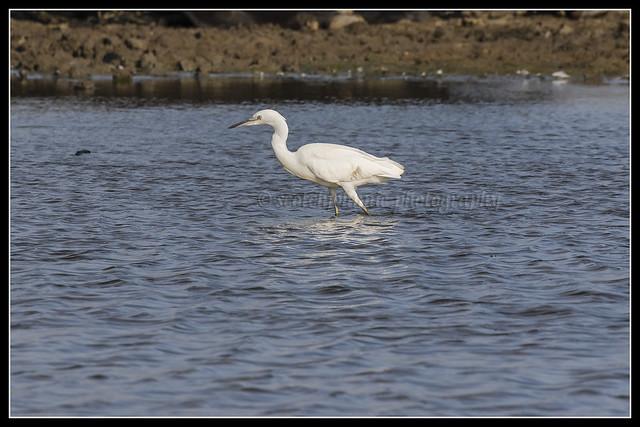 IMG_0155 Little Egret