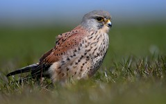 Male kestrel