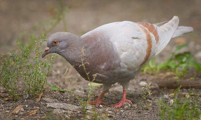 (Urban) pigeon