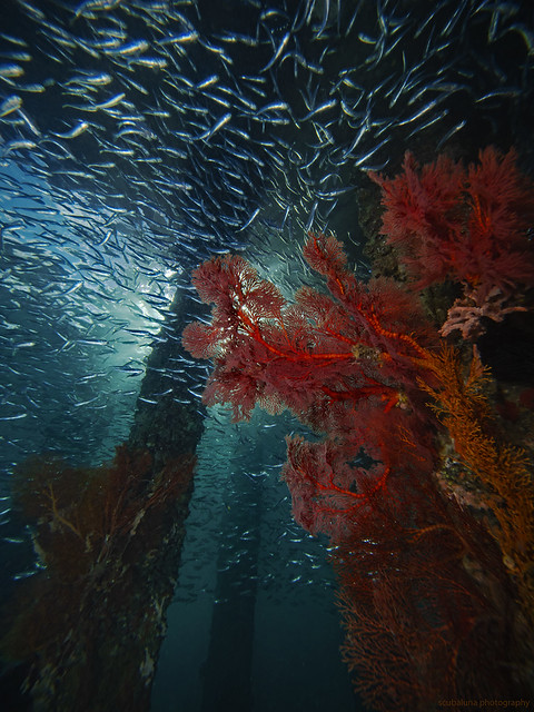 fish and corals below the jetty