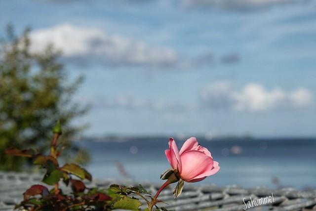 See-Rose