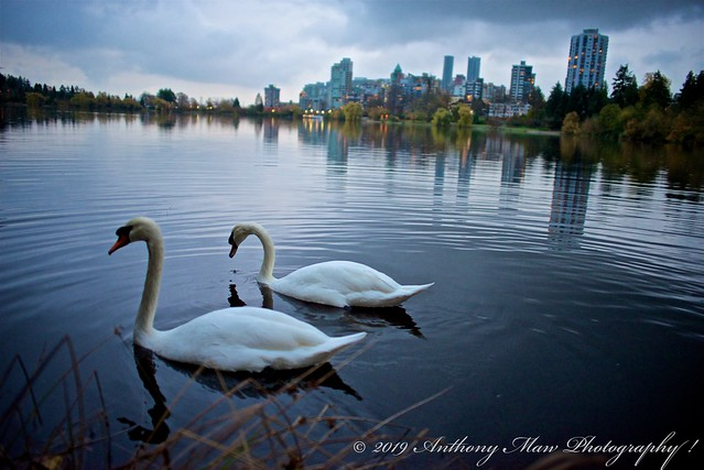 Stanley Park White Swans Mating Pair