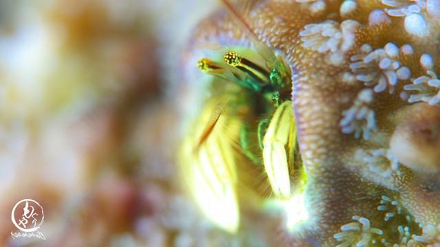 サンゴにいてくれると嬉しくなる。カンザシヤドカリ