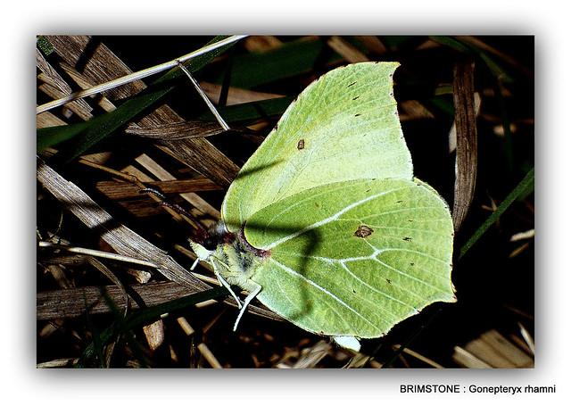 BRIMSTONE : Gonepteryx rhamni.  In