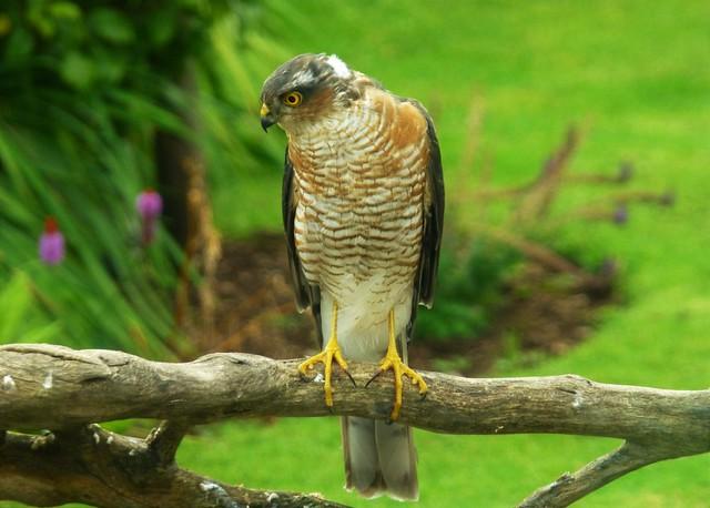 Sparrow Hawk Hunter..x