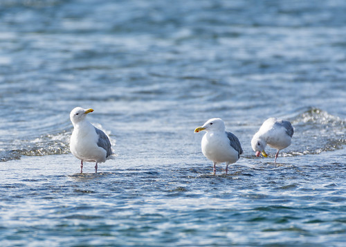 Three gulls a wading.