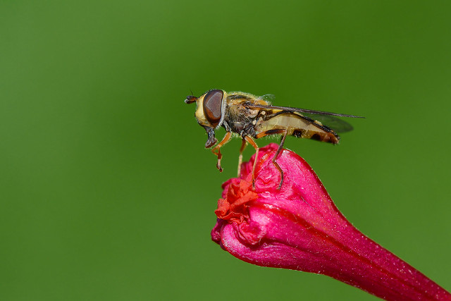 Syrphe/Hoverfly