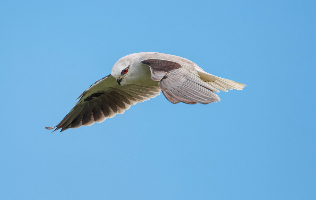 Black-shouldered Kite- Intent