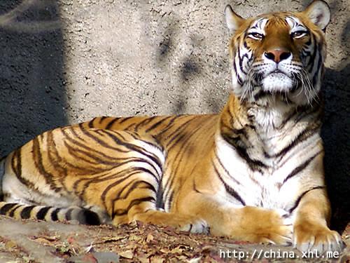 Beijing Zoo and Aquarium - Tiger