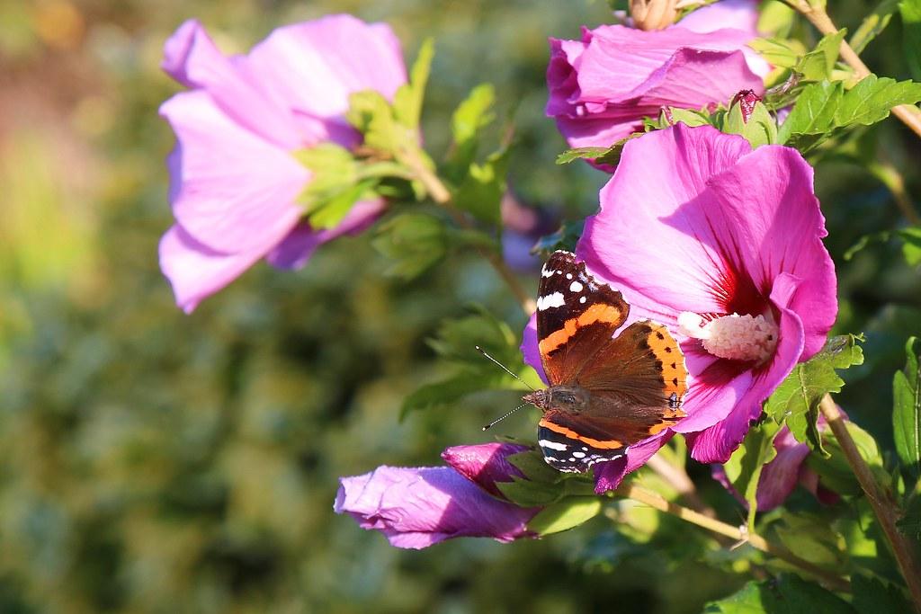 Le vulcain et l'hibiscus
