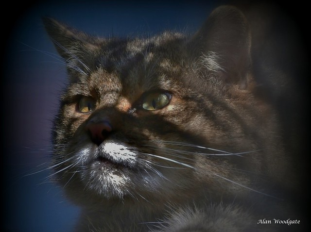 Scottish Wildcat (captive)
