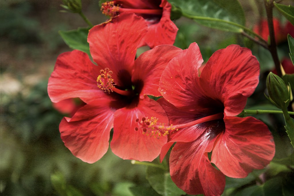 Hibiscus Flower teapro tea