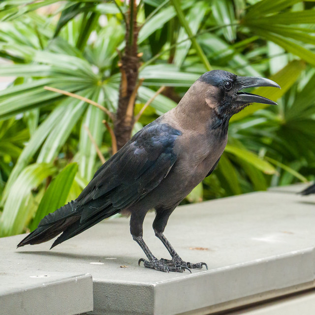 Crow in Singapore