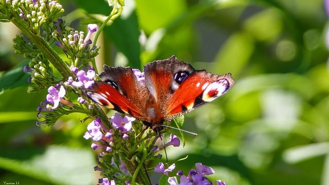 Butterfly - 7411
