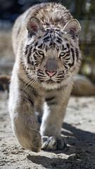 White tigress walking towards me