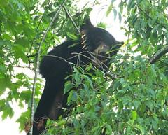 2029e  momma bear seeking berries