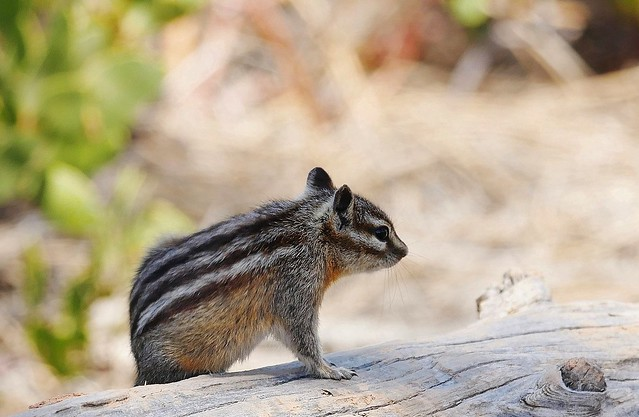 Chipmunk at Bryce Canyon National Park
