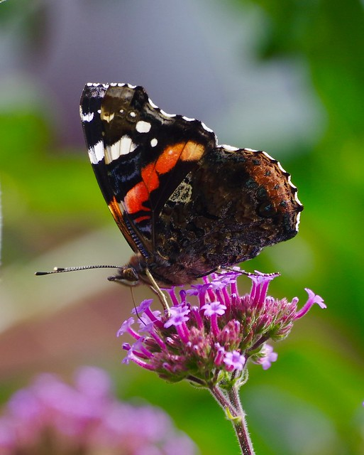 Red Admiral Butterfly (Vanessa atalanta) On Verbena Flower