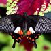 Philippine Mormon (Papilio alphenor ledebouria)