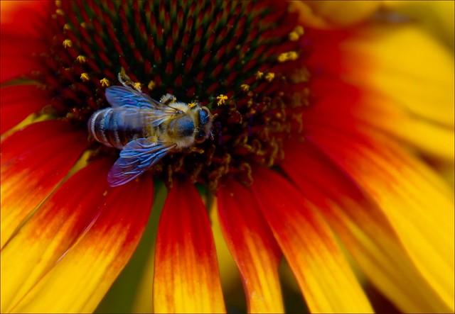 Honigbiene an Sonnenhut
