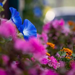 Blau Blume