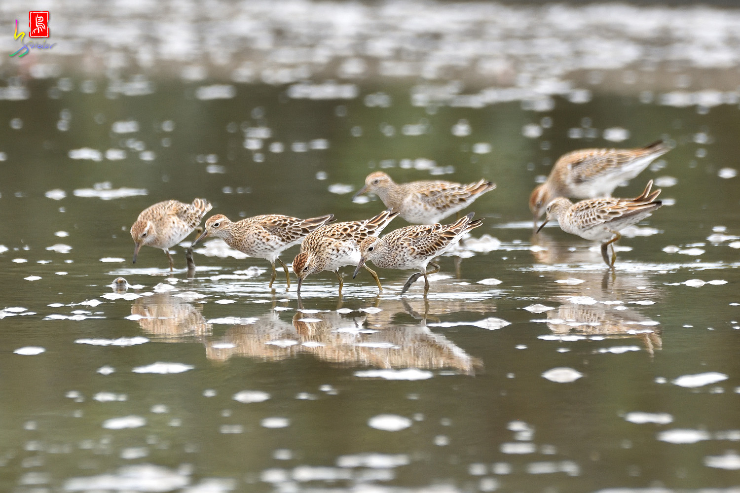 Sharp-tailed_Sandpiper_8089