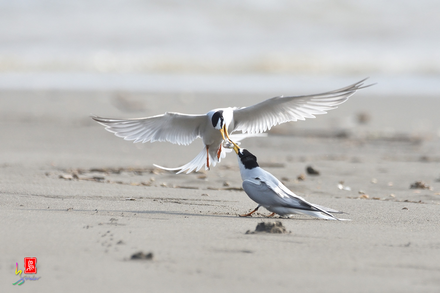 Little_Tern_4245