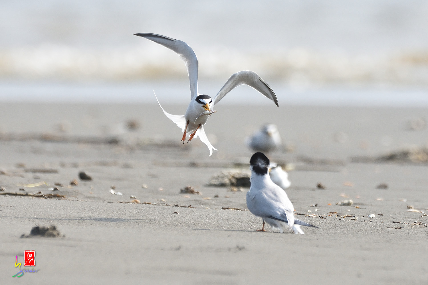 Little_Tern_4242