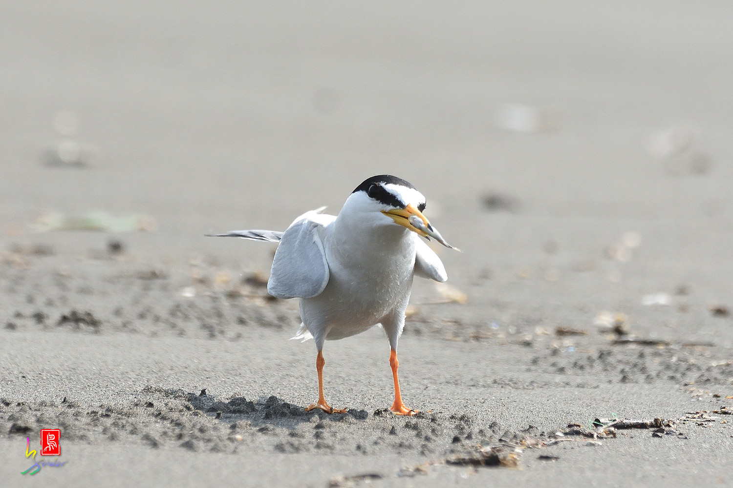 Little_Tern_4217