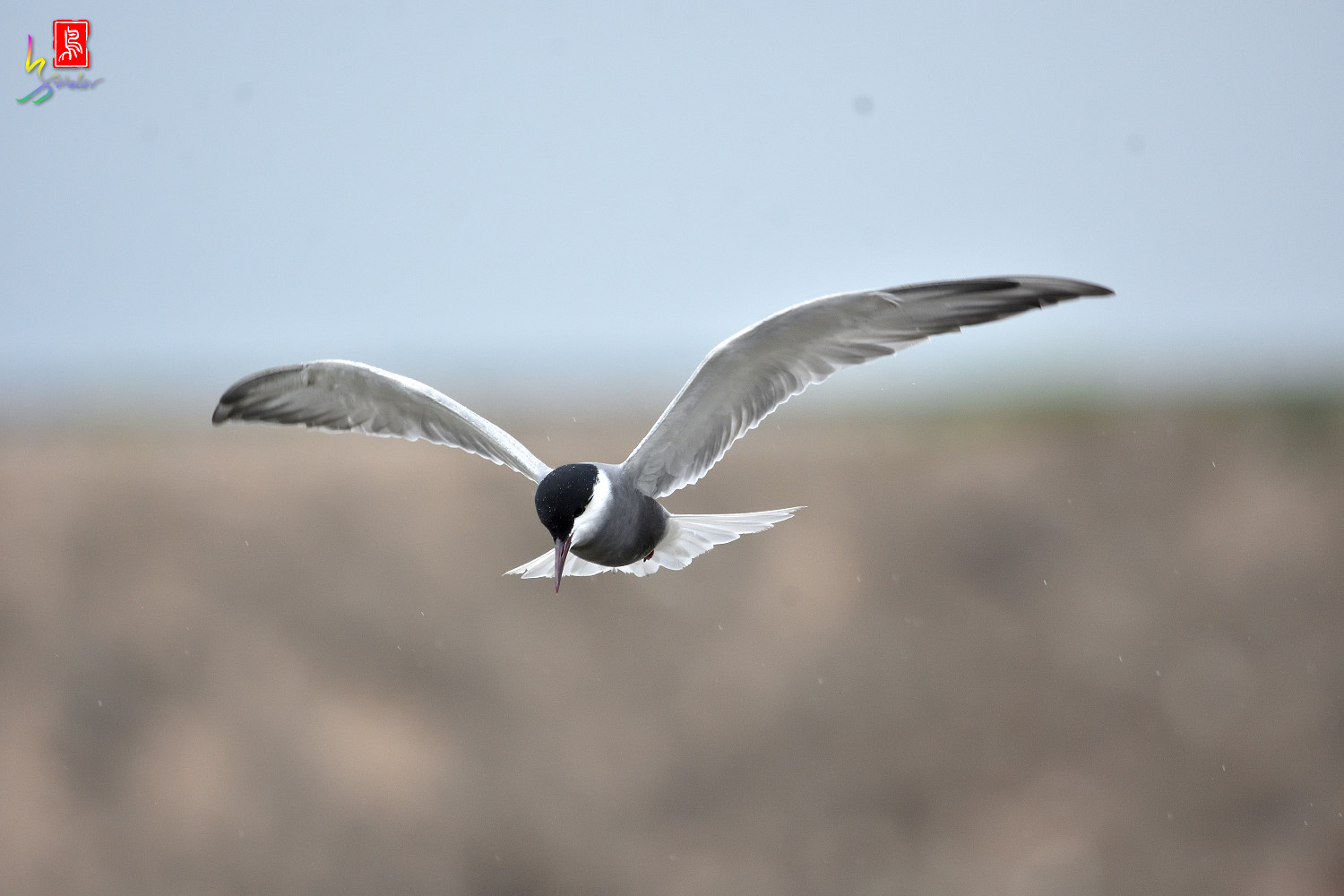 Whiskered_Tern_8828