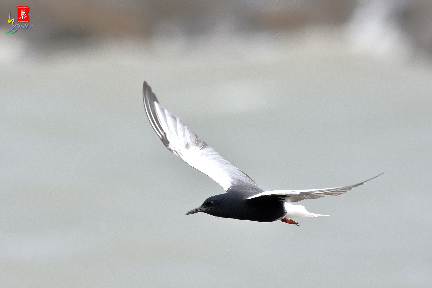 White-winged_Tern_4441