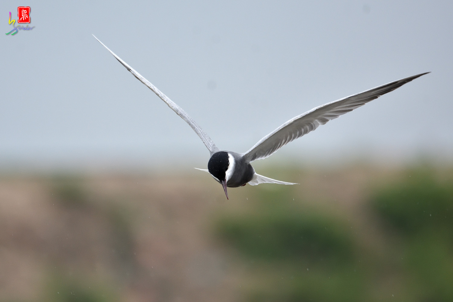Whiskered_Tern_8824