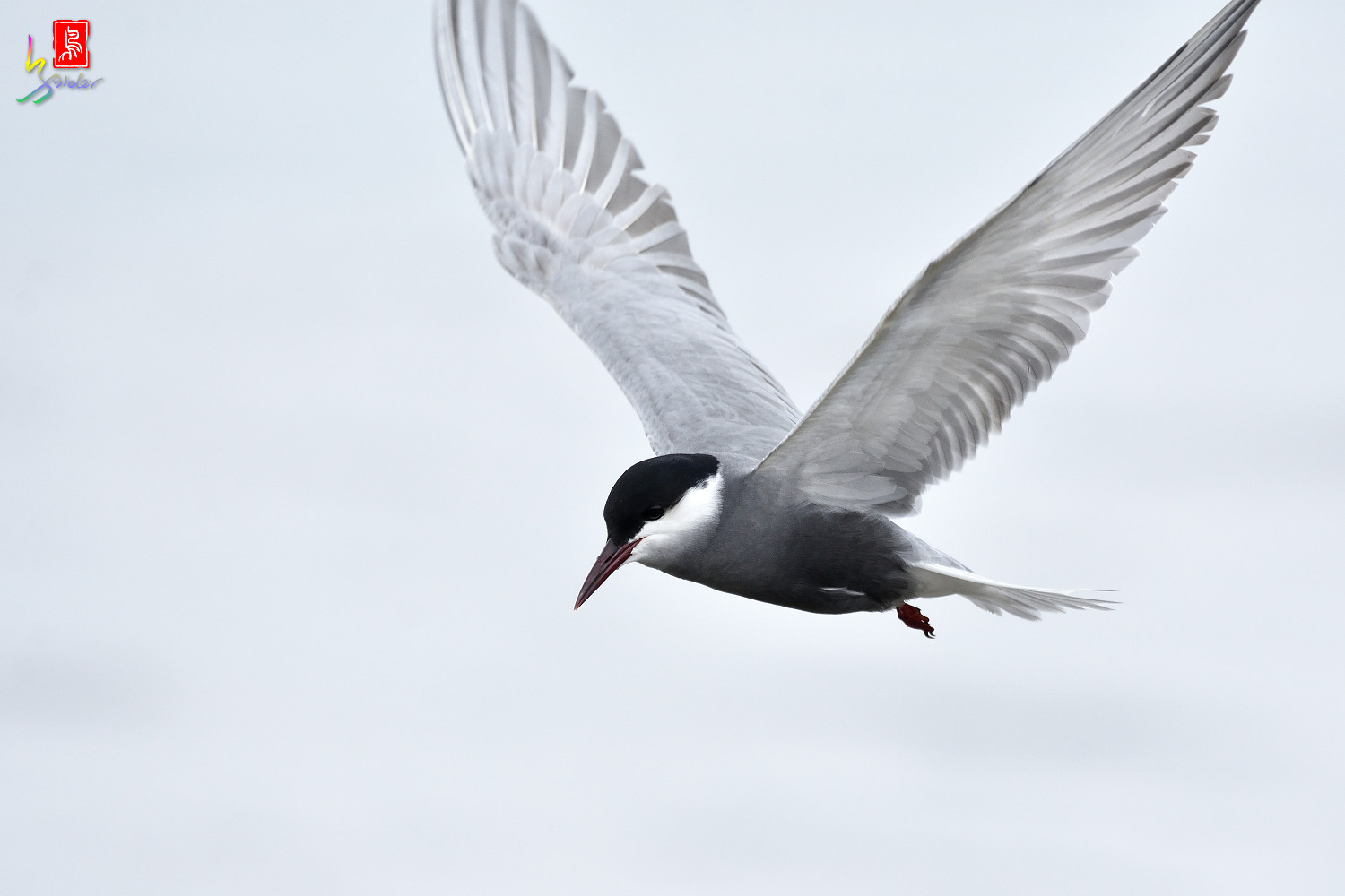 Whiskered_Tern_6110