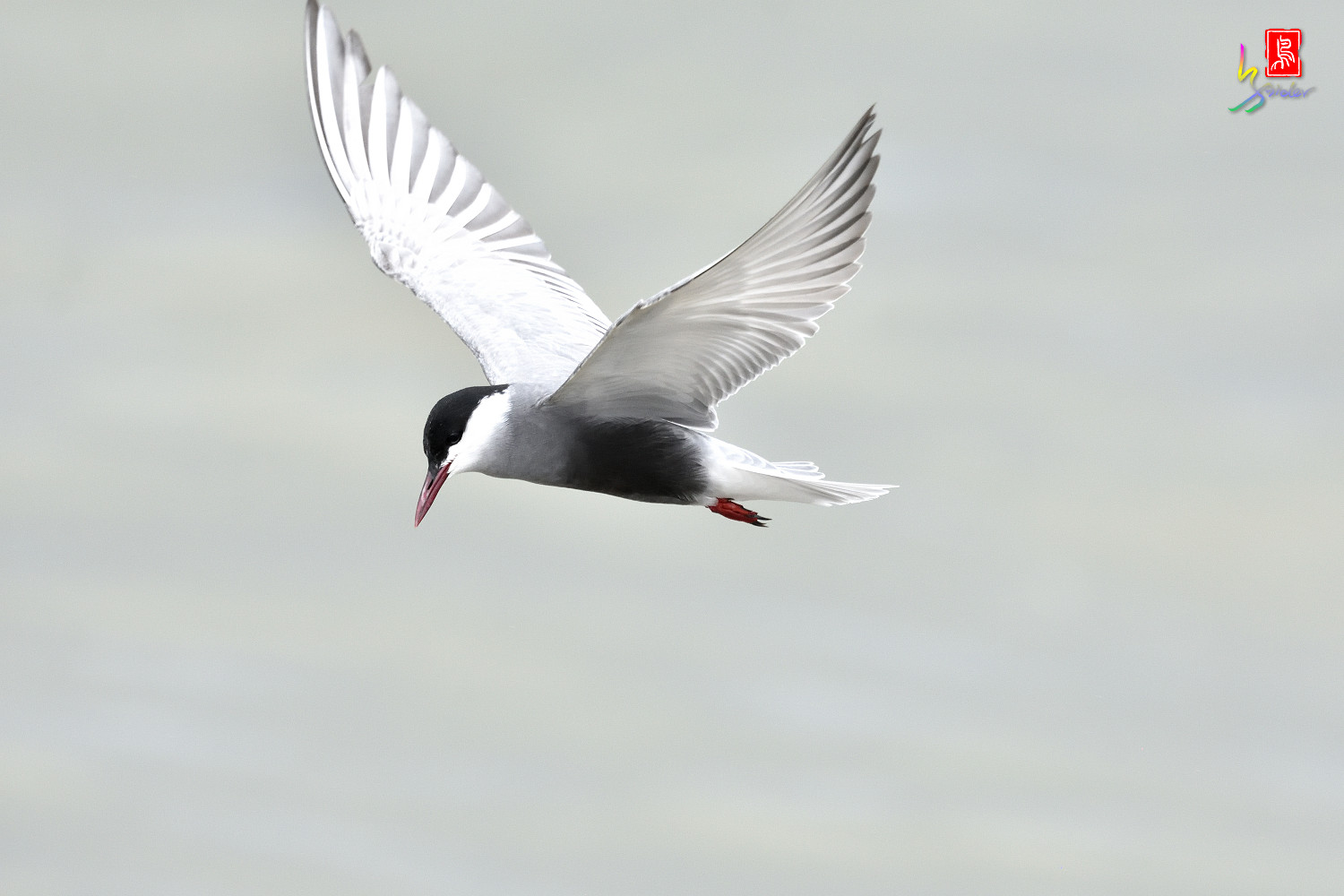 Whiskered_Tern_4466