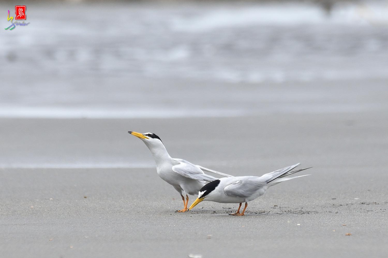 Little_Tern_6732