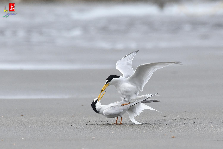 Little_Tern_6723