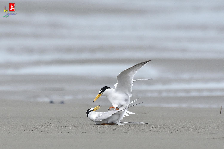 Little_Tern_6581