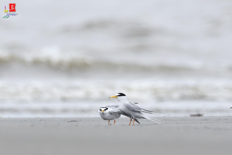 Little_Tern_6447