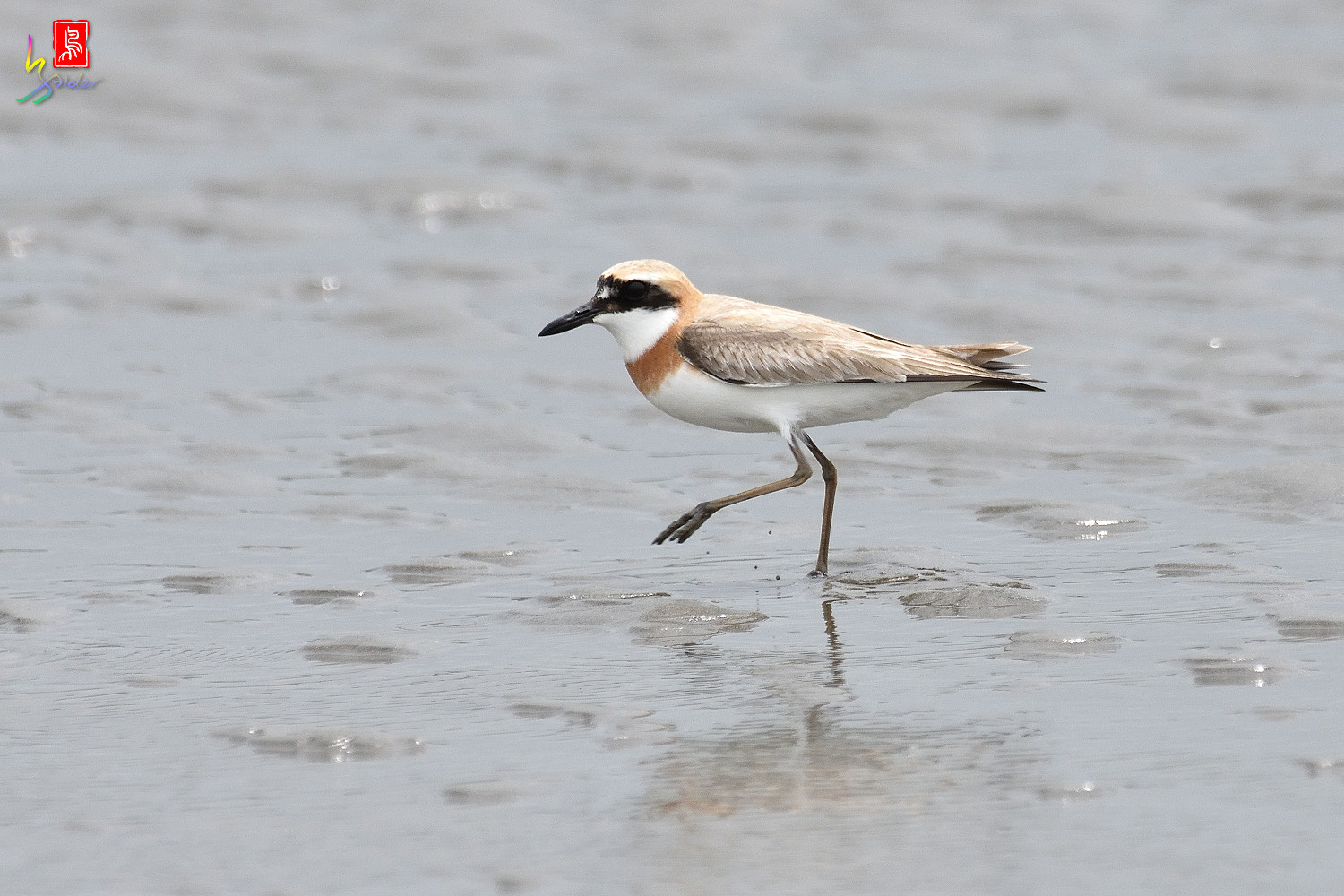 Greater_Sand_Plover_6376
