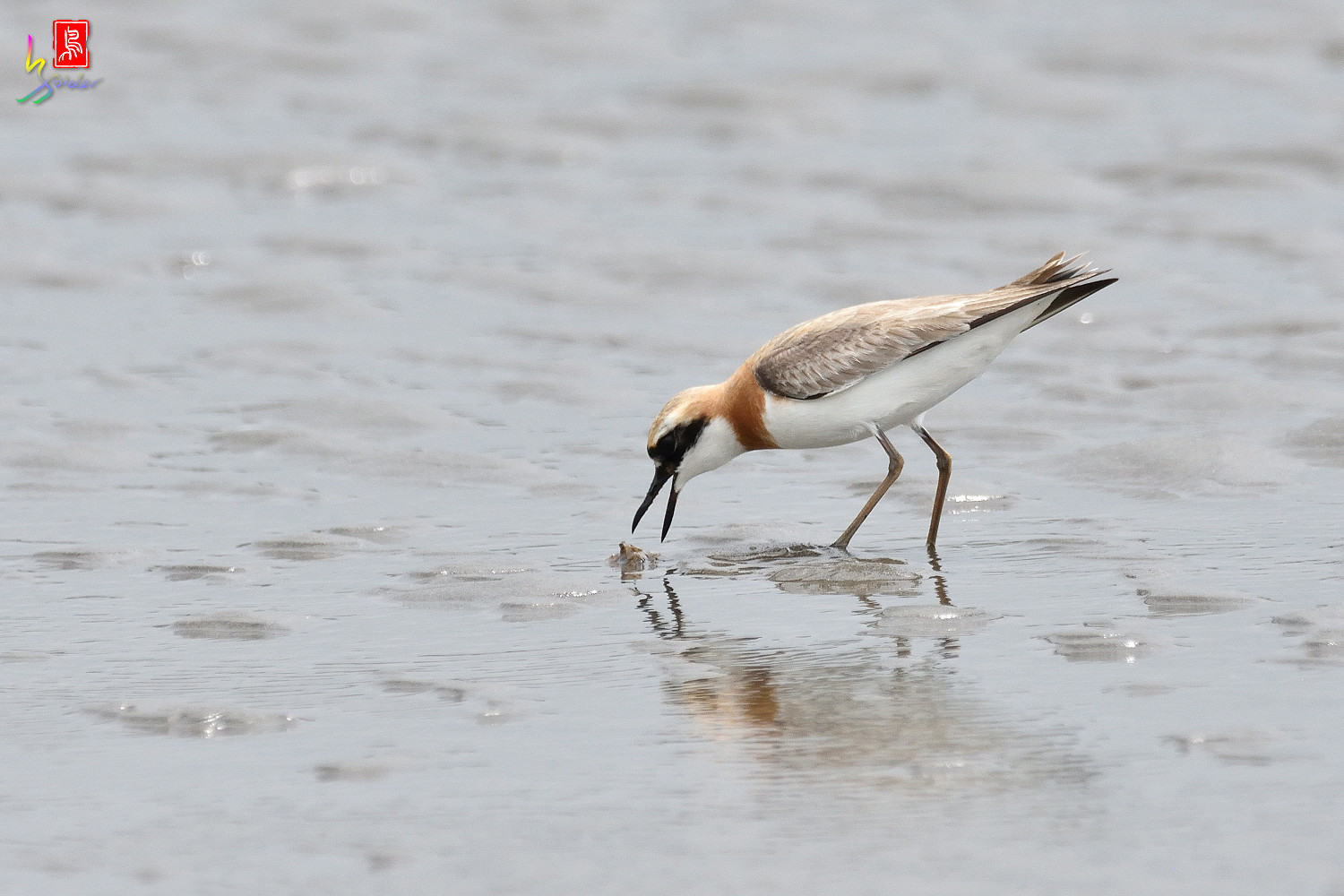 Greater_Sand_Plover_6374