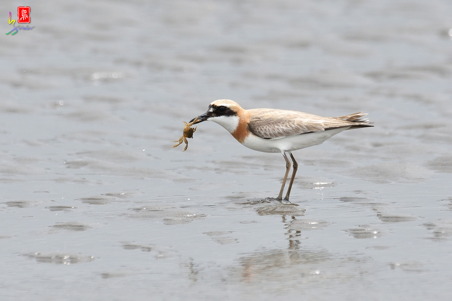 Greater_Sand_Plover_6371