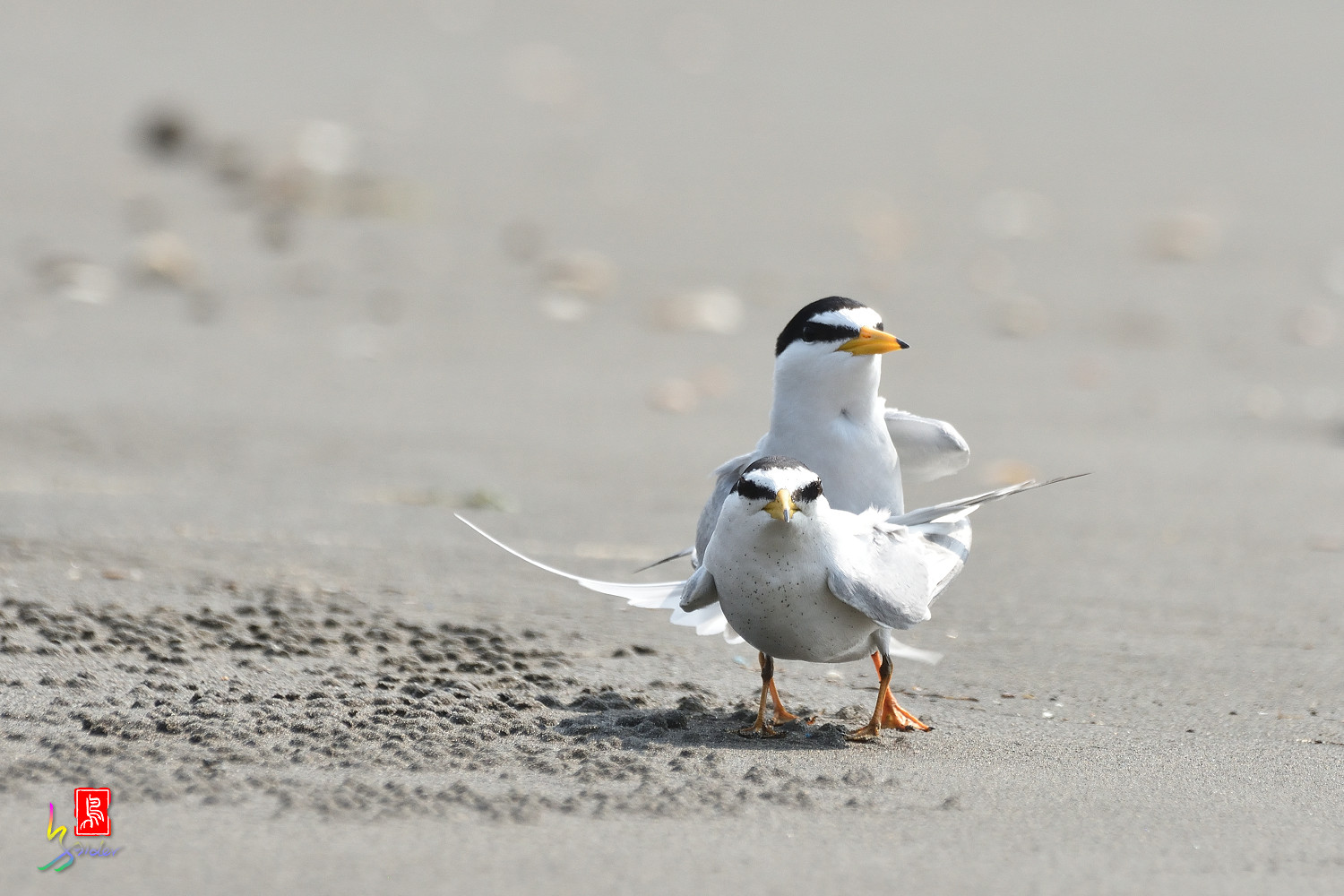 Little_Tern_4207