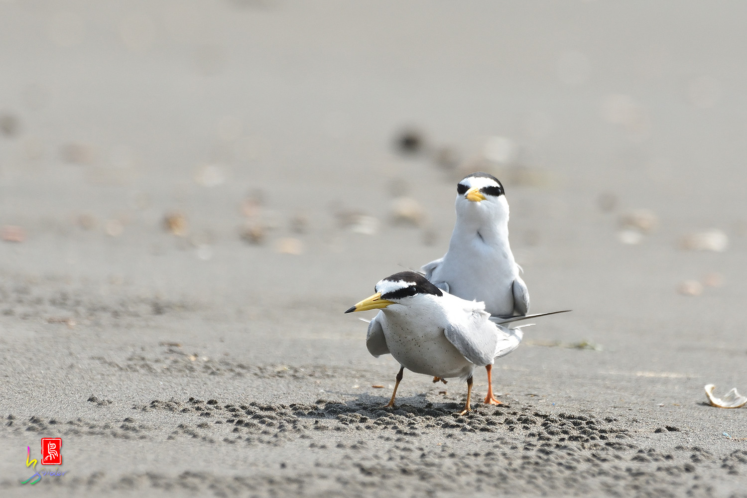 Little_Tern_4202