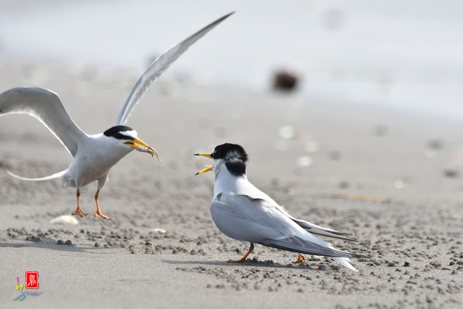Little_Tern_4044